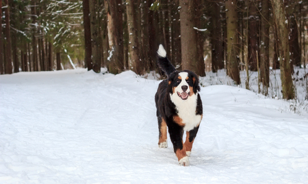 bernese mountain dog: Happy mountain dog ran across the snow-covered road. Stock Photo