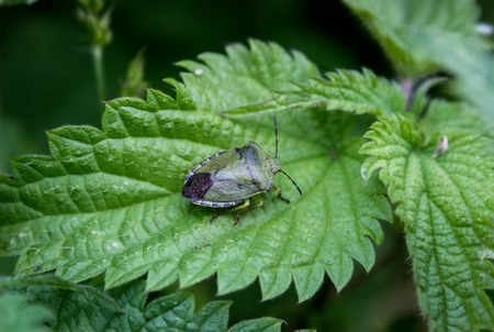 palomena: Defenders of light-green Palomena prasina on nettle leaf. Stock Photo