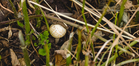 cut the grass: Small yellow-brown striped toadstool among the stems of cut grass.
