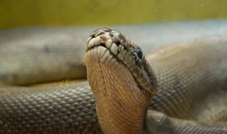A large python in the terrarium. Close-up.