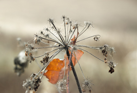 Umbrella Aegopodium podagraria, ground elder, overcast autumn day. Shallow depth of field. Photo toned. Stock Photo