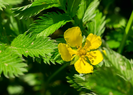 Potentilla anserina, Silverweed Stock Photo