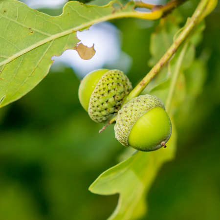 Two young green acorns Stock Photo