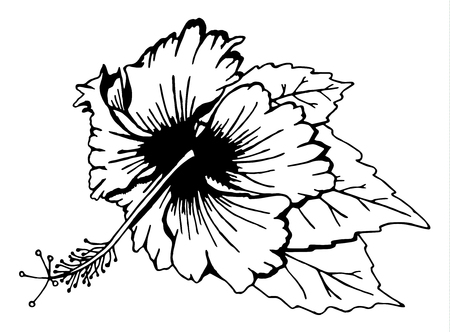 Hibiscus flower with leaves. Black and white illustration. Drawn by hand. Isolated on white. There is an option in the vector.
