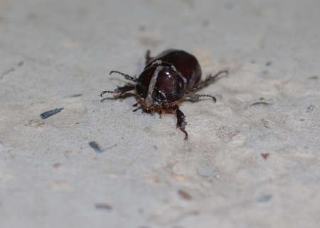 a large brown beetle on a grey square