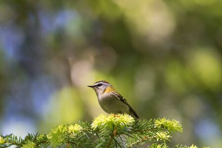 The smallest bird of Europe, Firecrest, perching in sunlight 版權商用圖片
