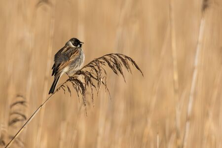 Reed bunting in his natural habitat. It can be found only in reedbeds.