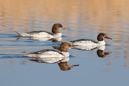 A flock of female Mergus mergansers on a calm wather, with a reflection