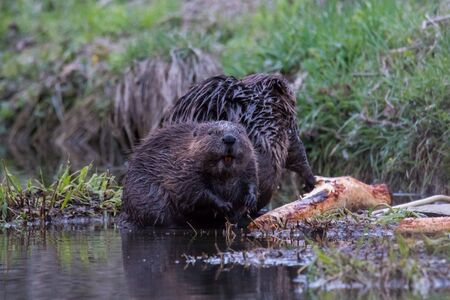 Two beavers beside a log, one of them looking at the camera