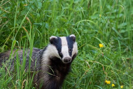 Badger in grass standing and looking toward the camera