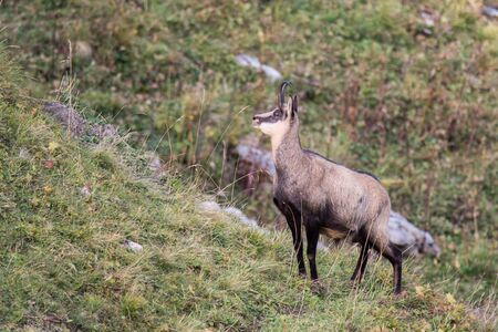 Chamois standing on a mountain side, looking forward Banque d'images