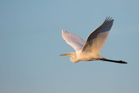 Beautiful and elegant white bird in flight with a nice blue background