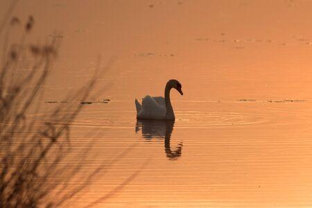 Un cisne al atardecer nadando en un lago. Foto de archivo