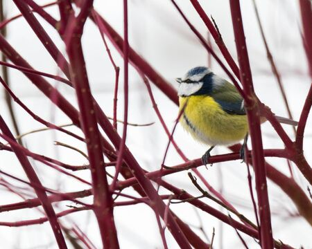 Blue tit on a branch in winter