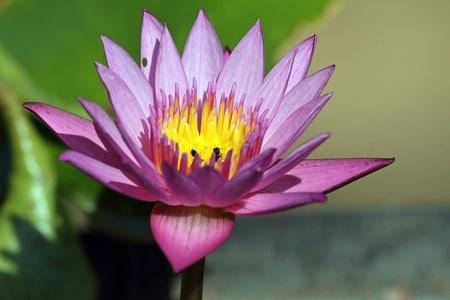 nymphaea: lotus