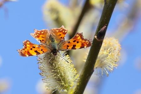 pokrzywka: Butterfly nettle-rash in flourishing willow  Zdjęcie Seryjne