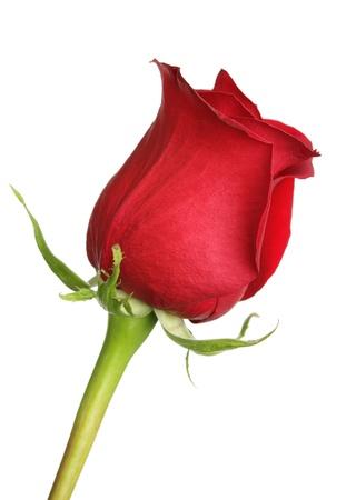 Rosa roja de cerca sobre un fondo blanco