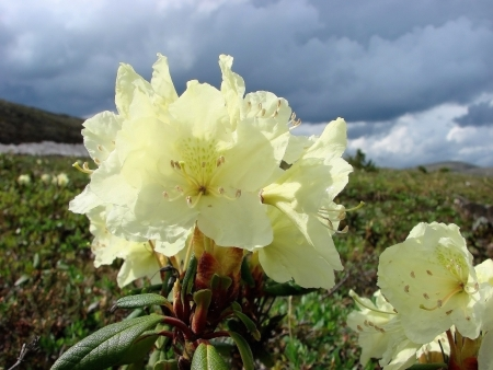 frost bound: Flora blossoming, short summer of tundra                      Stock Photo