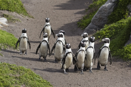 African Penguins on the move photo