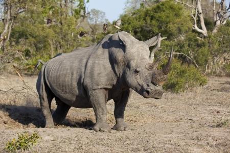 White Rhino bull marking territory