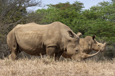 Rhino cow and calf photo
