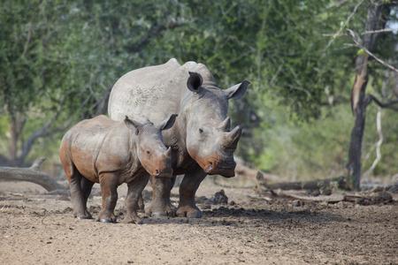 poaching: White Rhino cow and calf, South Africa