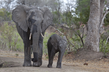 Elephant mother and calf at waterhole Stock Photo