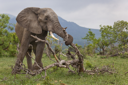 African Elephant mobing branch to access green grass