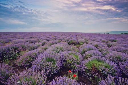 Sunrise on lavender field.