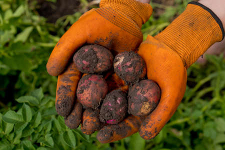 A farmer in orange gloves harvests potatoes. Collection of fresh raw potatoes. Closeup.