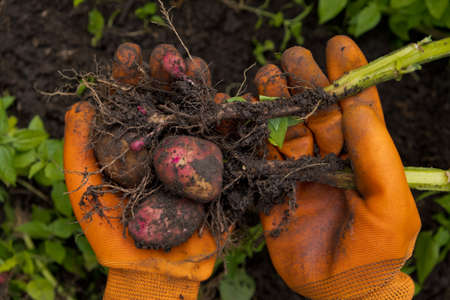 Collection of fresh raw potatoes. A farmer in orange gloves harvests potatoes. Closeup. Reklamní fotografie