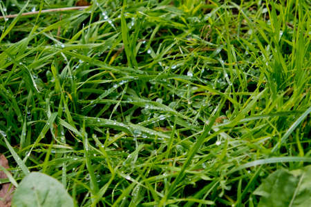 Morning dew drops on the green grass. Selective focus.