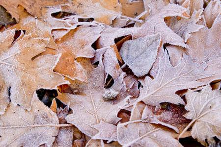 Frost on fallen oak leaves.