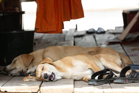 Two cute red dogs sleeping on the wooden porch, mouth open Banco de Imagens