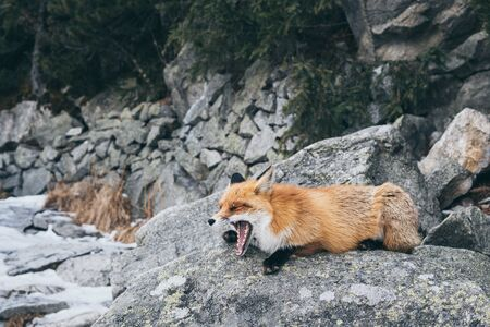 Wild red fox sleeping and yawning on the rock in High Tatra mountains, Slovakia. Snow and winter time. Foto de archivo
