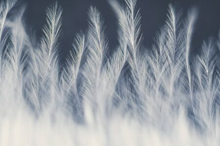Closeup macro of white bird feather. Natural abstract texture forming monochromatic background.