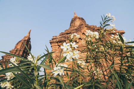 View over stupas and pagodas of ancient Bagan temple complex through the flower bush in Myanmar.