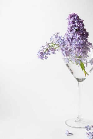 Purple lilac blossom standing in a stemmed glass vase on white background. Spring flowers still life with copy space for your text. Banque d'images