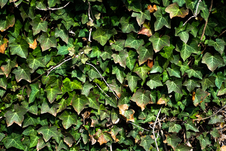 leafs: the natural green leafs wall Stock Photo