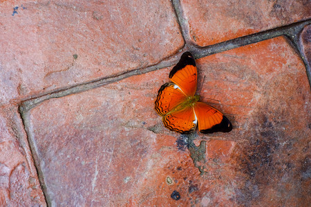 beautiful Common Yeoman butterfly on ground