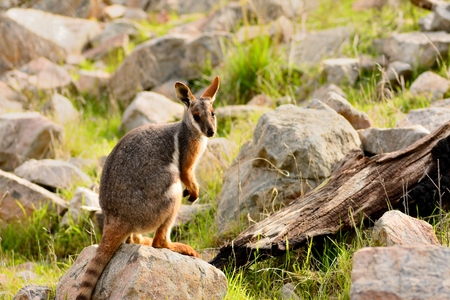 wallaby: A lonely sad wallaby stands among the rocks. Animals also need attention and care. Raising peoples awareness of the importance of empathy