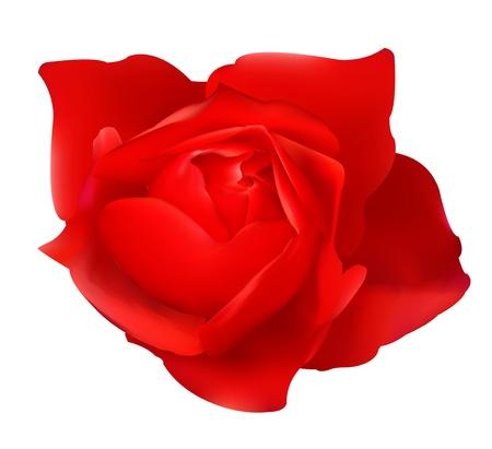 rosaceae: Red Rose Illustration
