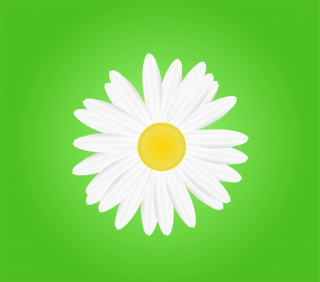 white daisy: A white daisy flower Illustration