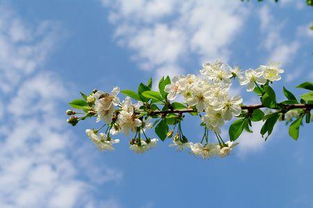 Cherry flower on branch against blue sky Stock Photo - 4669495