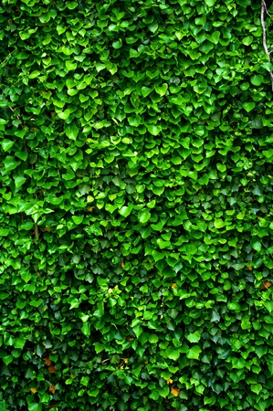 Ivy wall Stock Photo