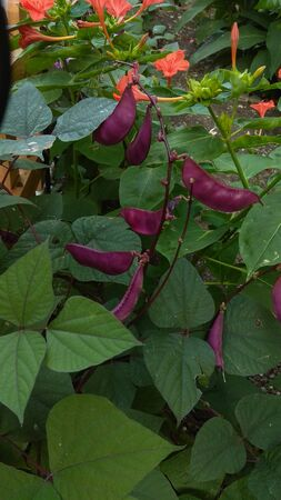Hyacinth (Ruchi Indonesian Purple) Beans, ornamental vine. Purple colored seeds pods & deep green foliage with a slight hint of purple. Striking dark violet pods, leaf veins and stems. Archivio Fotografico