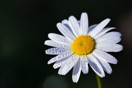 Closeup of a white marguerite with petals and drops of water in front of dark background