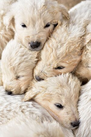 Close up of cute fluffy white young cuddling each other Stock Photo