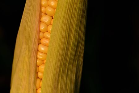 Closeup of a fresh yellow corncob with luminous grains on the field in front of dark background 写真素材