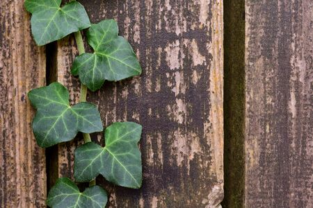 Background from old brown wooden slats and with the close-up of green ivy leaves Фото со стока